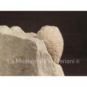 Cistoide Holocystites