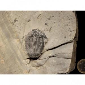 Trilobite Elrathia