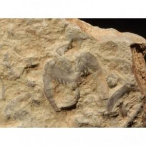 Trilobite Drepanura