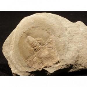 Trilobite Olenellus